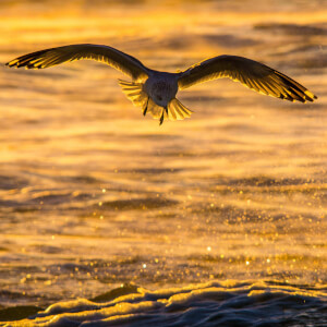 Eagle flying over the foam of a calm ocean's waves.