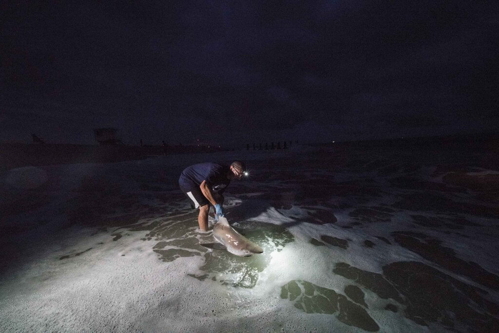 Assistant Professor Keith Dunton guides a tagged sandbar shark back into the ocean in Cape May, New Jersey