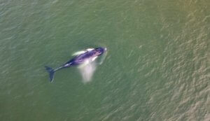 Drone Footage Shows Massive Humpback Whale Swimming Close to New Jersey Shore