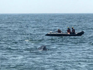 Photo of team working to rescue the humpback whale