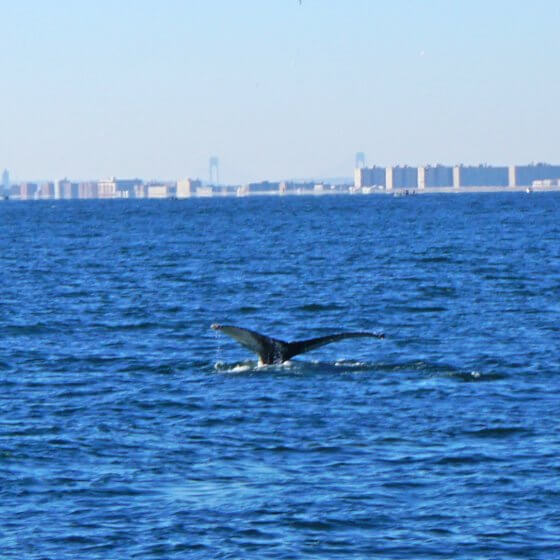 Photo of whale diving into ocean off the New Jersey coast - Click or tap to register for IGU-UCI Global Ocean Governance Panel Presentation